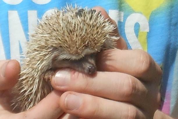 General information about African Pygmy Hedgehogs