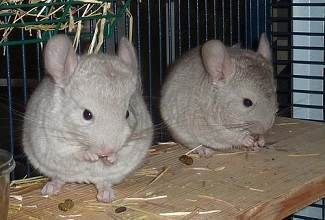 Two young chinchillas enjoying a well earned snack resting on a shelf in their cage