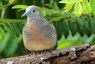 An adult zebra dove perching on a tree branch, their favourite past time when not scratching on the ground