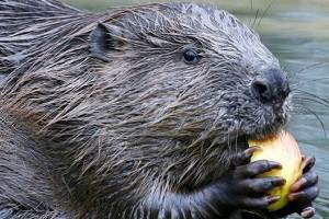 Beavers should be re-introduced to England to improve water supplies,            prevent floods and tackle soil loss