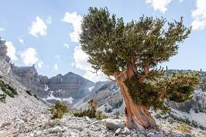 A Great Basin bristlecone pine in California's White Mountains            has a core suggesting it is 5,067 years old